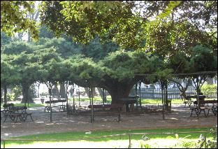 Giant cedar tree in Principe Real garden